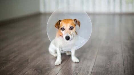 Comment prendre soin d'un chien après une opération ?
