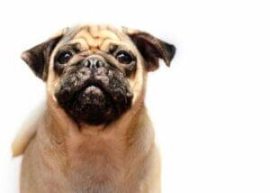 L'acné chez les chiens peut se déployer sur les babines.