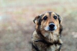 Les chiens ayant subi de la maltraitance souffrent plus souvent du trouble obsessionnel compulsif canin que les autres.