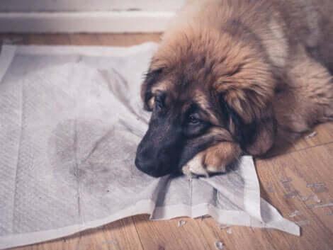 Les chiens urinent à la maison pour diverses raisons.