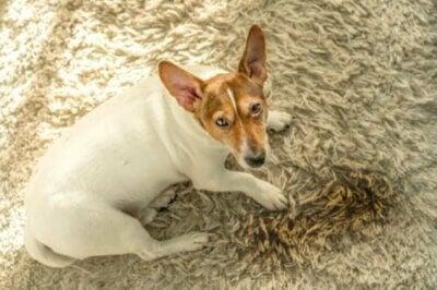 Cinq raisons pour lesquelles les chiens urinent à la maison