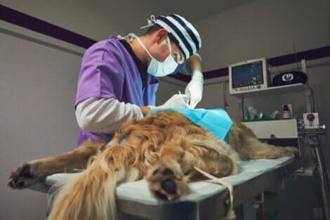 Un chien en train d'être opéré sur la table du vétérinaire.
