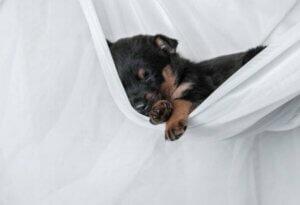 Un chiot qui dort dans un drap suspendu.