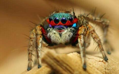 Les couleurs d'une araignée sauteuse, parmi les araignées les plus adorables du règne animal.