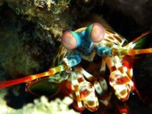 La crevette-mante est dotée de grandes pinces.