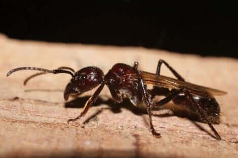 Le nom de la fourmi balle de fusil fait référence à la douleur que sa piqûre provoque.