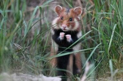 Le hamster d'Europe : un mammifère en grave danger