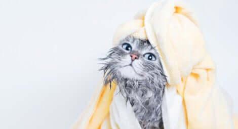 Un chat lavé avec des lingettes humides.