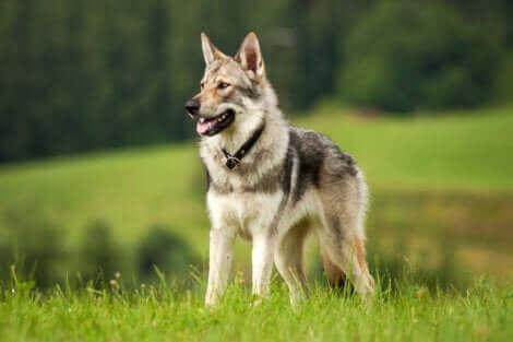 Le loup est très rapide pendant une course.