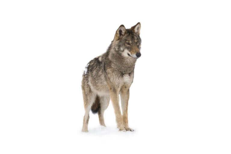 Nous vous disons tout sur l'endurance du loup à la course