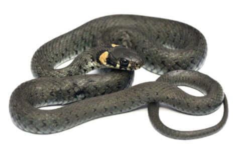 La couleuvre à collier est un serpent fascinant.