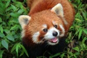 L'état de conservation des pandas roux.