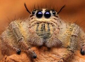 La tête d'une araignée saltique.