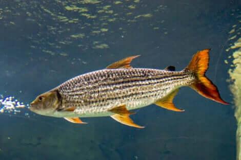 Le corps entier d'un poisson tigre.