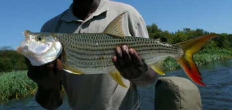 Un homme tenant un poisson tigre dans ses mains.