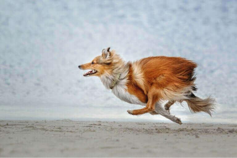 Les races de chien les plus susceptibles de s'échapper
