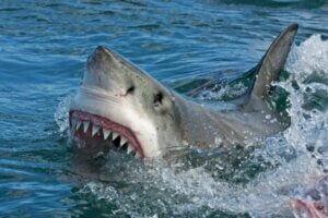 Un requin peut-il tomber malade ?