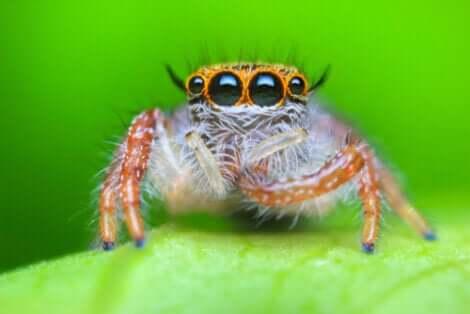 Les araignées salticides font partie des araignées les plus adorables.