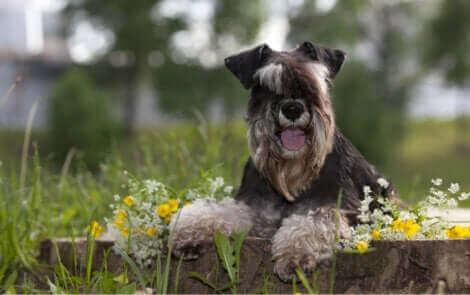 Le schnauzer nain, l'une des races de chien susceptibles de s'échapper.