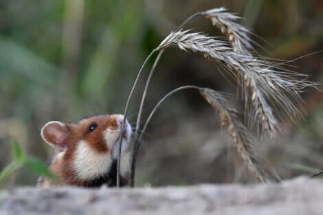 Une tête de hamster d'Europe.