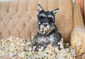 Un chien souffrant du trouble obsessionnel compulsif canin.