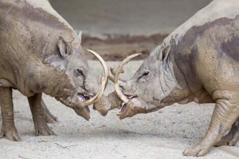 Il s'agit de babiroussas mâles.
