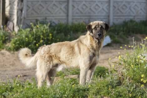 Le berger d'Anatolie, , l'une des meilleures races de chien de garde.