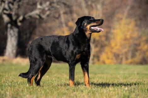 Le beauceron, l'une des meilleures races de chien de garde.