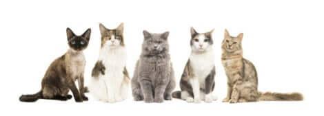 Illustration qui représente cinq races de chats différentes.