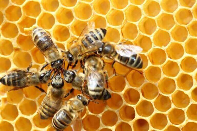 La danse des abeilles pour trouver leur nourriture