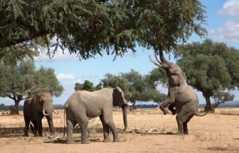 Des éléphants qui mangent des branches.