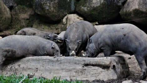 Il s'agit d'un groupe de babiroussas.