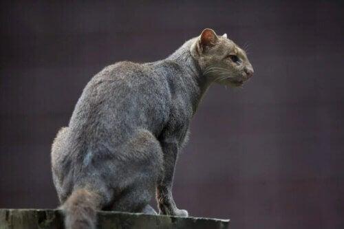 Le jaguarondi fait partie des aristocrates étranges.