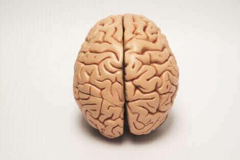La latéralisation du cerveau explique le fait qu'un animal peut aussi être droitier ou gaucher.
