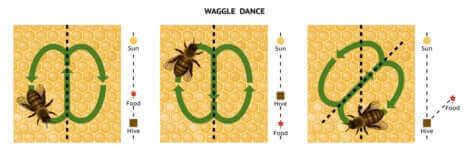 Les abeilles dansent pour trouver leur nourriture.