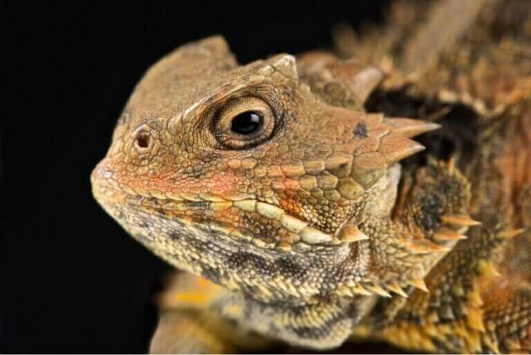Le lézard à cornes : un reptile qui pleure du sang
