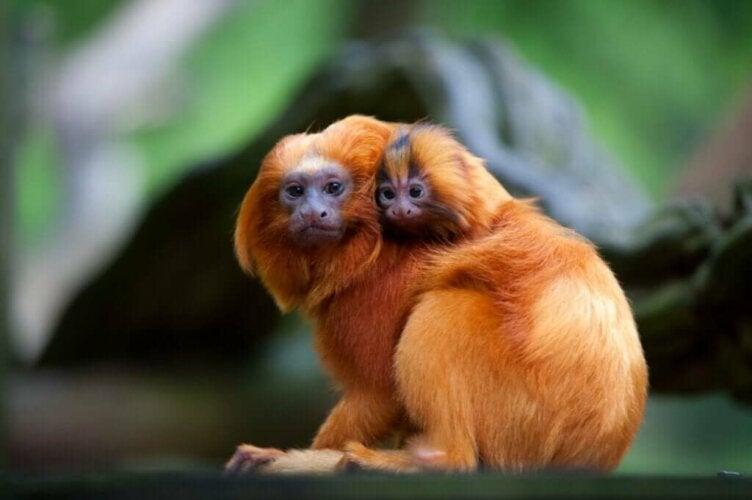 Le tamarin-lion doré : entre menaces et bienfaiteurs