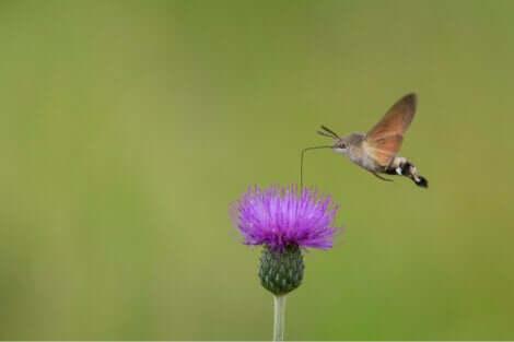 Le papillon colibri est un papillon singulier.