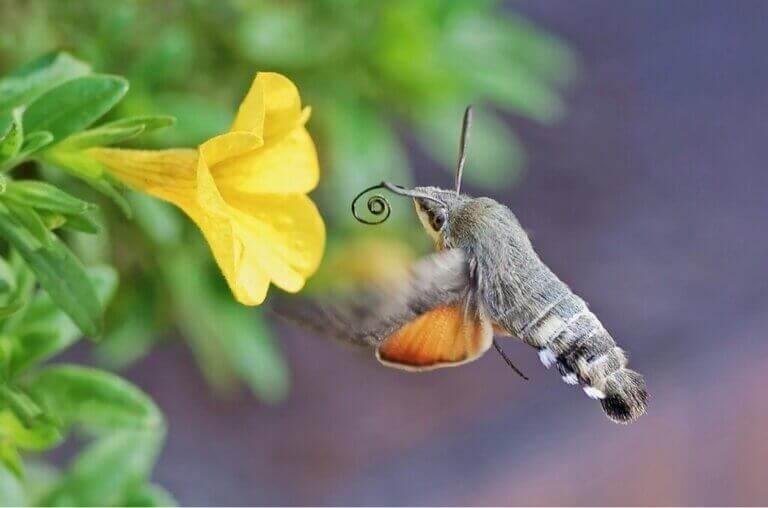 Le papillon colibri : quel rôle joue-t-il dans la pollinisation ?