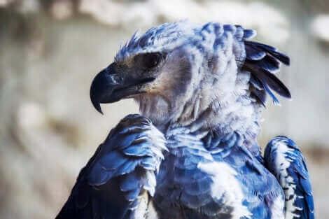 Le plumage, l'une des caractéristiques remarquables de la harpia harpyja.