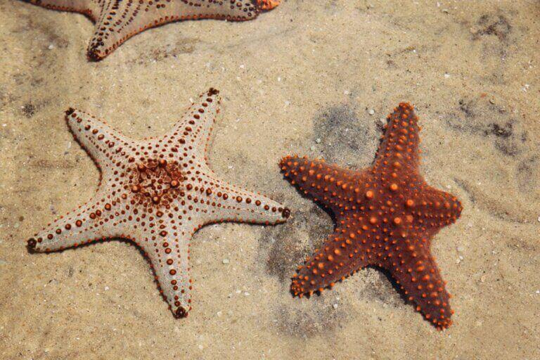 La régénération chez les étoiles de mer, le secret de la vie ?