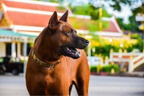 Le thai ridgeback, , l'une des meilleures races de chien de garde.