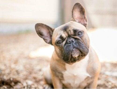 Les caractéristiques du bulldog français et du bulldog anglais