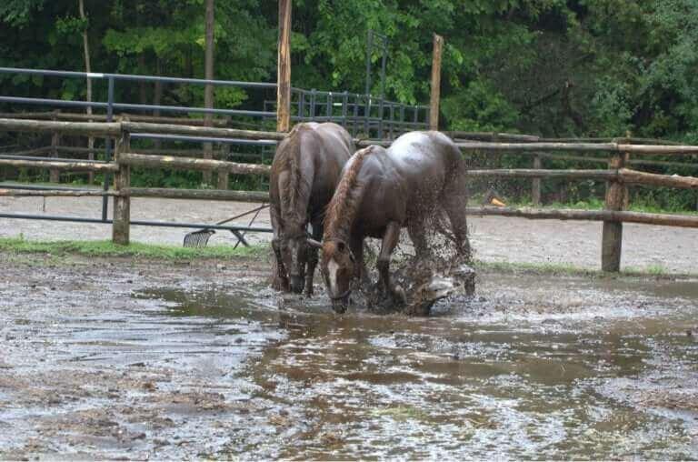 Des chevaux sauvés d'une inondation donnent naissance
