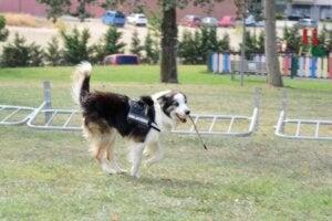 Un chien qui sauve la vie d'autres chiens.