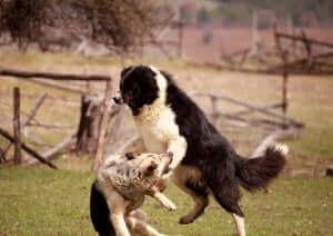 Les chiens agressifs ne doivent pas être isolés.