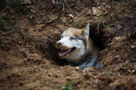 Les chiens enterrent leur nourriture.