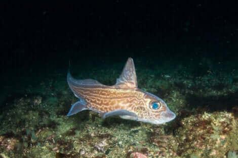 La chimère fait partie des poissons sans écailles.
