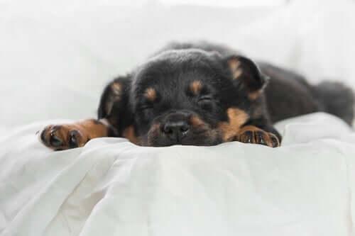 Les chiens aussi ont besoin de jouir d'un bon sommeil.