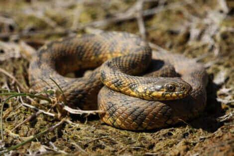Les couleuvres font partie des serpents non venimeux.